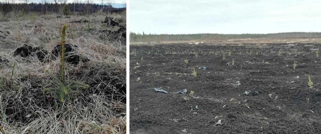 Taimiteko: Akava-metsää keväällä 2021.